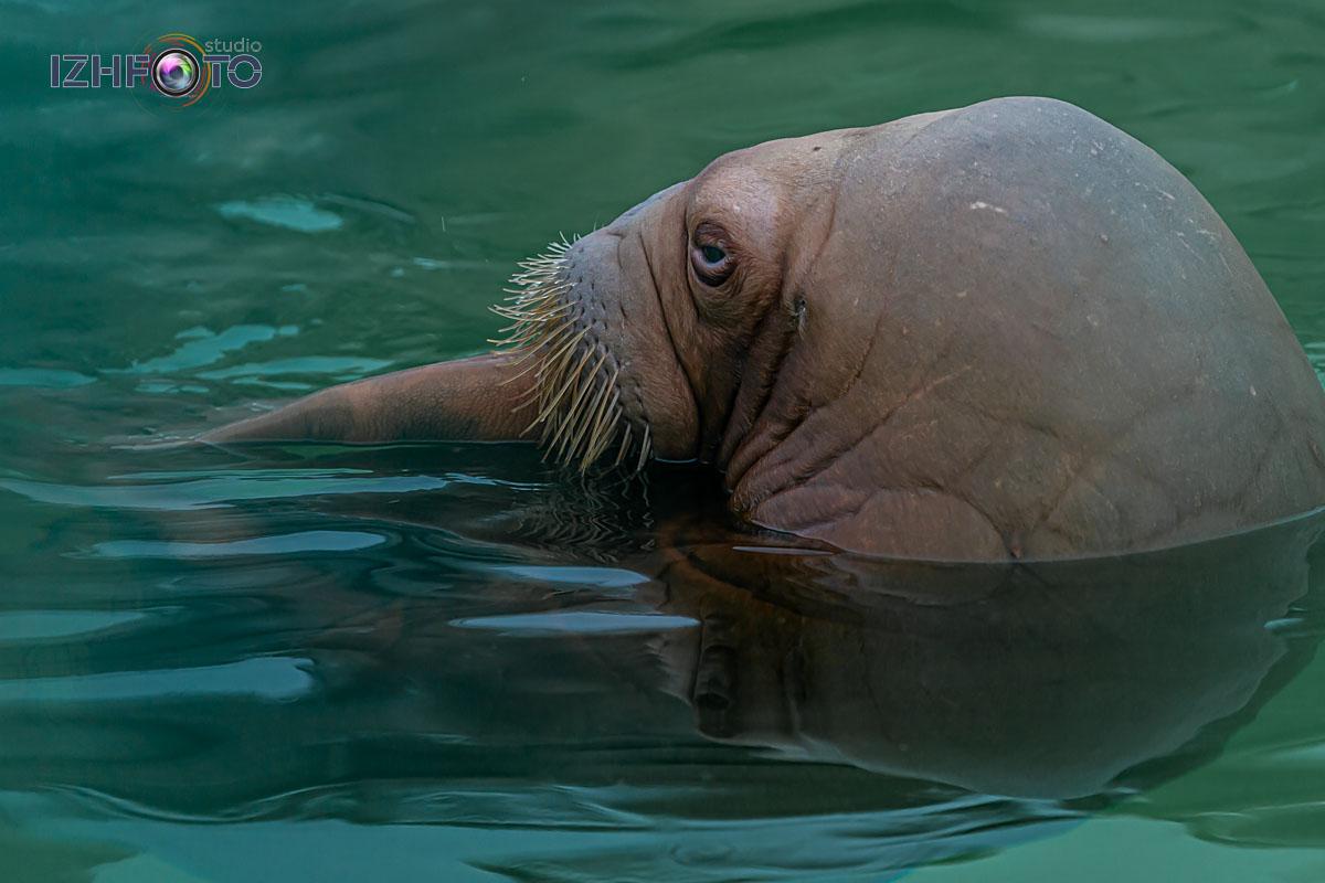 Морж в зоопарке Фото