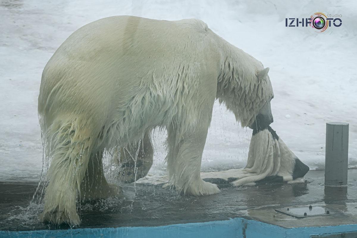 Фото белого медведя в зоопарке Ижевска