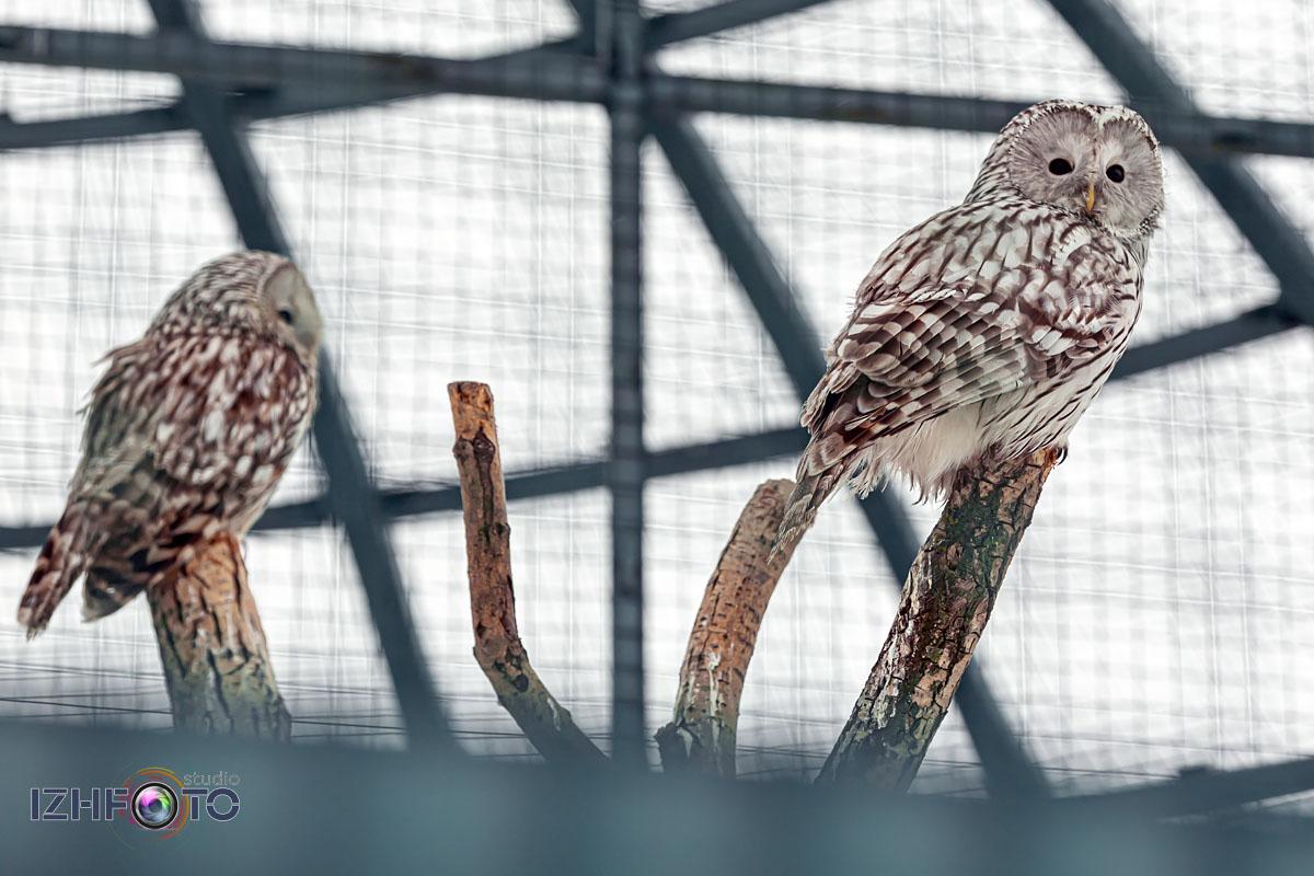 Фото Полярная сова в Зоопарке Ижевска