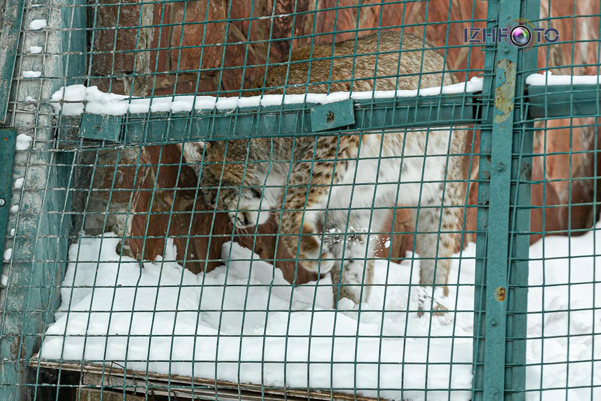 Восточно-сибирская рысь в зоопарке Фото