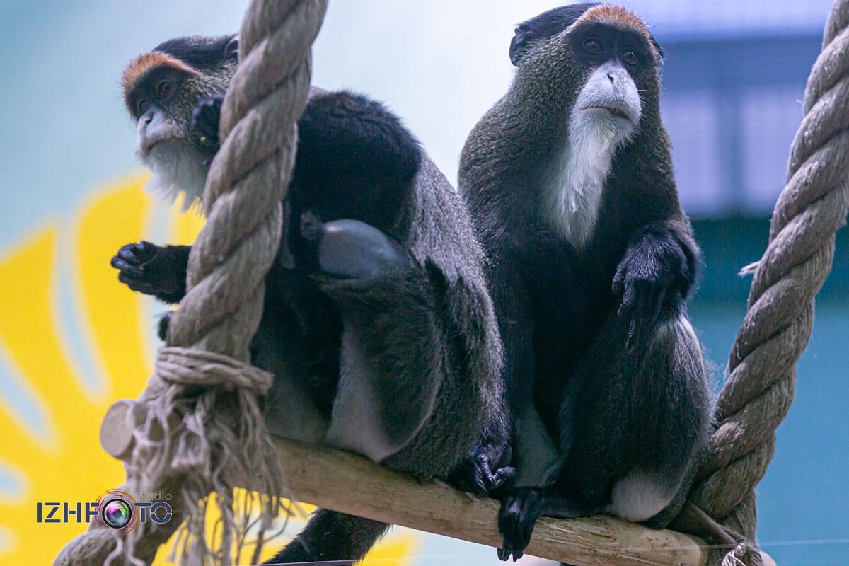 Как живут обезьяны в зоопарке Ижевска Фото