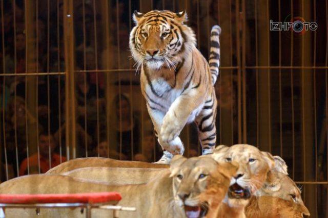 Тигры в цирке