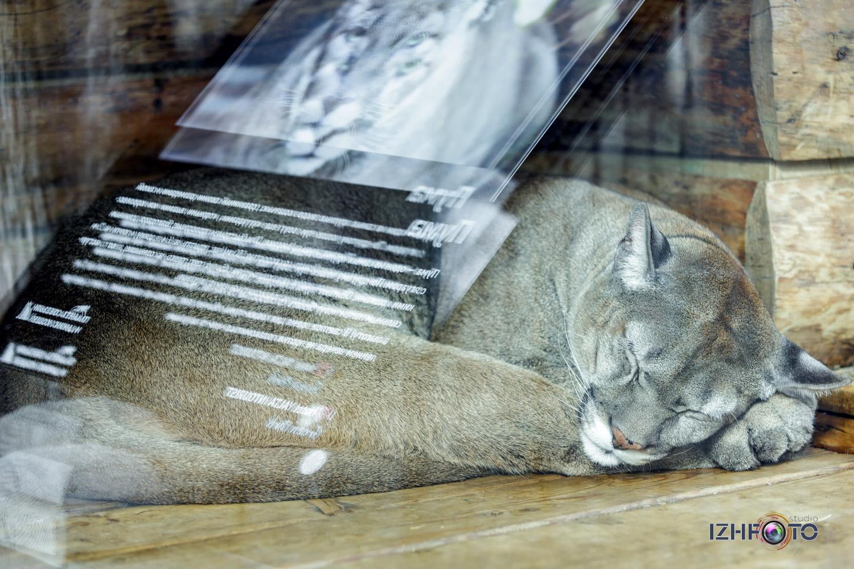 Фото пумы в зоопарке Ялта Интурист