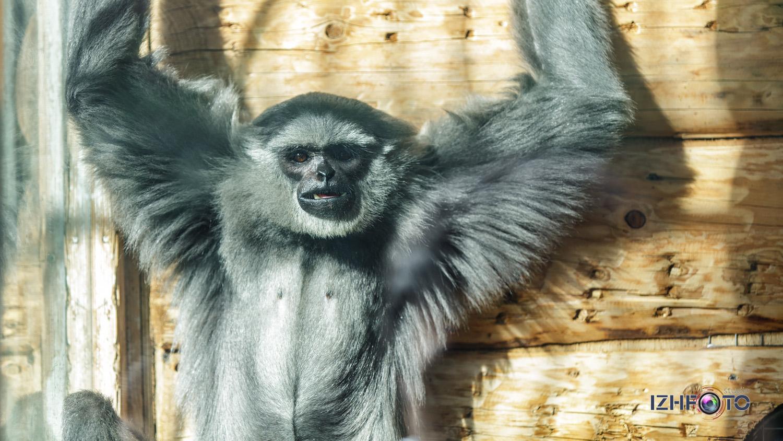 Фото белощеких гиббонов в зоопарке