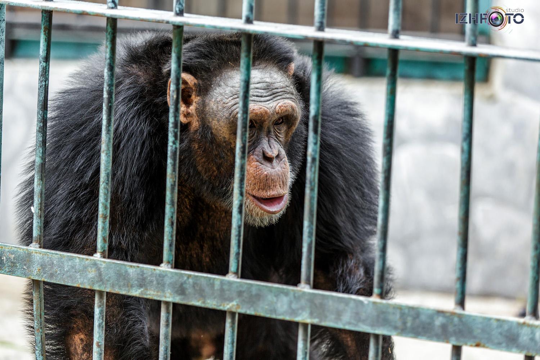 Фото шимпанзе в зоопарке