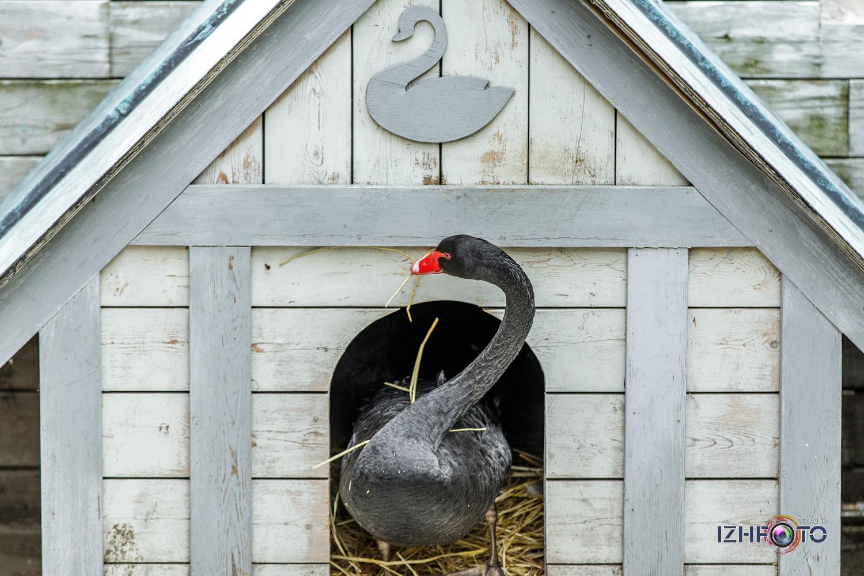 Зоопарк отеля Yalta Intourist - черный лебедь